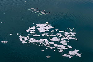 Aerial view of pod of Narwhals (Monodon monoceros) swimming past melting icebergs, Franz Jozef Land, Arctic Russia. July  -  Sergey  Gorshkov