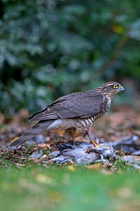 Sparrowhawk (Accipiter nisus) feeding on Wood pigeon (Columba palumbus) Norfolk, England, UK. September.  -  Robin Chittenden