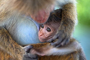 Toque macaque (Macaca sinica) mother with baby, Sri Lanka.  -  Robin Chittenden