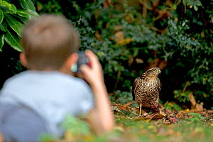 Boy watching Sparrowhawk (Accipiter nisus) feeding on Wood pigeon (Columba palumbus) Norfolk, UK, September. Model released.  -  Robin Chittenden