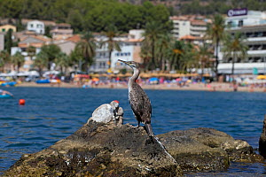 Shag (Phalacrocorax aristotelis desmarestii) perched on rock near beach, Mallorca, August 2019  -  Robin Chittenden