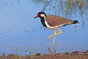 Red-wattled lapwing (Vanellus indicus) at waters edge, Sri Lanka.  -  Robin Chittenden