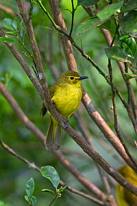 Yellow-browed Bulbul (Acritillas indica) Sri Lanka  -  Robin Chittenden