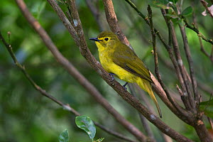 Yellow-browed bulbul (Acritillas indica) Sri Lanka.  -  Robin Chittenden