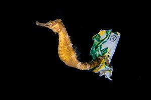 Tiger tail seahorse (Hippocampus comes) riding on a piece of plastic waste, tail entwined around it, Balayan Bay from Anilao, Mabini, Batangas, the Philippines.  -  Magnus Lundgren