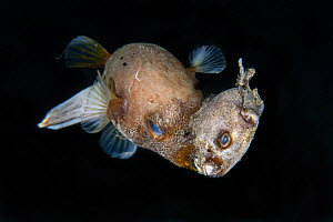Rare and previously unseen behavior with an adult blackspotted puffer (Arothron nigropunctatus) swimming around with a dead younger fish of the same species in its beak-like mouth. Nightdive close to...  -  Magnus Lundgren