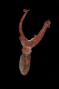 Large unknown octopus species with one lost arm swimming at night. Balayan Bay, off Anilao, Batangas, Philippines, Pacific Ocean  -  Magnus Lundgren