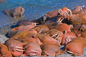 Pacific walruses (Odobenus rosmarus divergens) at a small haul-out on Arakamchechen Island in the Bering Sea, Chukotka, Russia.  -  Jenny E. Ross