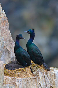 Pelagic cormorant (Phalacrocorax pelagicus) pair with large chicks on a cliffside nest at a huge seabird colony on Kolyuchin Island, Chukotka, Siberia, Russia.  -  Jenny E. Ross