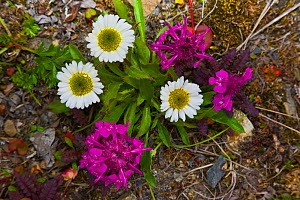 Tufted Fleabane (Erigeron caespitosus) and Lousewort (Pedicularis sp.), Wrangel Island, Siberia, Chukchi Sea, Russia. August  -  Jenny E. Ross
