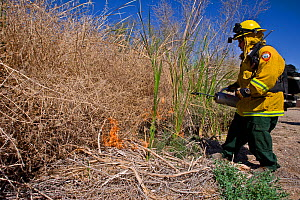 Firefighters starting controlled burn of dense cattail marsh at the Sonny Bono Salton Sea National Wildlife Refuge. Burned as habitat management to benefit the endangered Yuma clapper rail (Rallus lon...  -  Jenny E. Ross