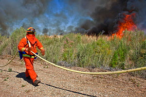 Firefighters monitoring controlled burn of dense cattail marsh at the Sonny Bono Salton Sea National Wildlife Refuge. Burned as habitat management to benefit the endangered Yuma clapper rail (Rallus l...  -  Jenny E. Ross