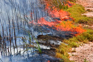 Controlled burn of dense cattail marsh at the Sonny Bono Salton Sea National Wildlife Refuge, burned for habitat management to benefit the endangered Yuma clapper rail (Rallus longirostris yumanensis)...  -  Jenny E. Ross