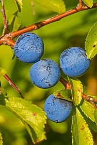 Sloes on Blackthorn bush (Prunus spinosa). Sutcliffe Park Nature Reserve, Eltham, London, England, UK. August.  -  Rod Williams