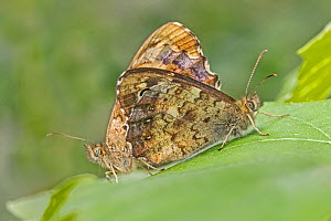 Speckled wood butterfly (Pararge aegeria) pair mating. Beverley Court Gardens, Lewisham, London, England, UK. July.  -  Rod Williams