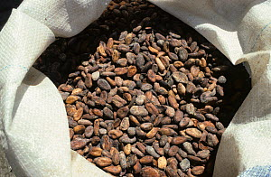 Dried fermented cocoa (Theobroma cacao) beans in a sack for processing into chocolate and other products, Mindanao, Philippines, February  -  Nigel Cattlin