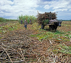 Water buffalo pulling cart of cut sugar cane surrounded by harvested canes, with crop harvest behind, Negros, Philippines, February  -  Nigel Cattlin
