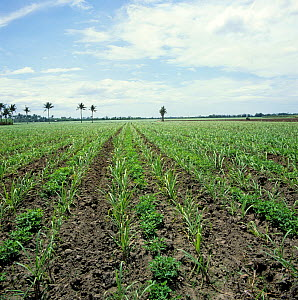 Interrow cropping with rows of young sugar cane (Saccharum officinarum) and peanuts (Arachis hypogea), Negros, Philippines, February  -  Nigel Cattlin