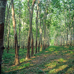 Underneath the canopy of a mature Malaysian rubber plantation near Malacca, the trees bear scars of frequent latex harvesting, February  -  Nigel Cattlin