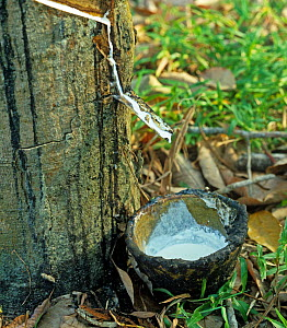 White latex flowing from the newly made cut in the bark of the rubber tree (Hevea brasiliensis), Malacca, Malaysia, February  -  Nigel Cattlin