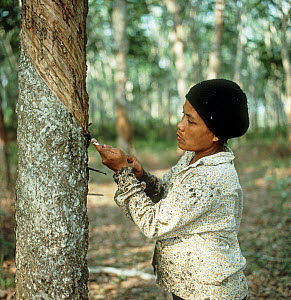 Woman making an angled cut through the bark of a rubber tree to tap into the latex vessels in the bark of a rubber tree, Malaysia, February  -  Nigel Cattlin