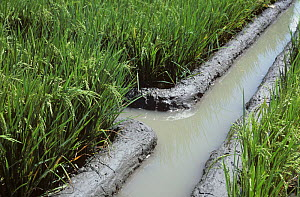 Irrigation canals and newly repaired mud irrigation levies channeling water to paddy rice crops in ear, Luzon, Philippines  -  Nigel Cattlin