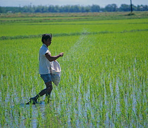 Filipino broadcasting fertilizer from a sack by hand into a seedling crop of onto paddy rice (Oryza sativa), Luzon, Philippines, February  -  Nigel Cattlin