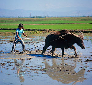 Cultivating a flooded paddy with a water buffalo and metal harrow or plough for a new seedling rice crop, Luzon, Philippines  -  Nigel Cattlin