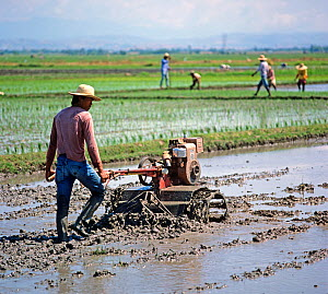 Man walking behind a mechanical, powered, rotovator turning soil in a flooded rice paddy before planting a seedling crop, Luzon, Philippines, February  -  Nigel Cattlin