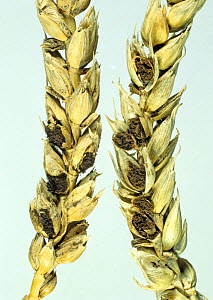 Bunt or covered smut (Tilletia tritici) infected ripe wheat ear with bunt balls cut open to show spores replacing grain.  -  Nigel Cattlin