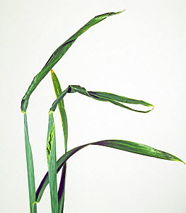 Wheat ear showing copper deficiency symptoms with ear trapped by twisted flagleaf  -  Nigel Cattlin