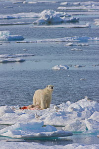 Polar bear (Ursus maritimus) adult male feeding on young yearling cub in rare incident of cannibalism. Svalbard, Norway. July.  -  Jenny E. Ross