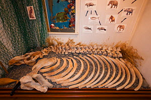 The skeleton of an extinct Steller's Sea Cow (Hydrodamalis gigas), on display in the small museum at Nikolskoye, Bering Island, Commander Islands (aka Komandorski Islands), Russia  -  Jenny E. Ross