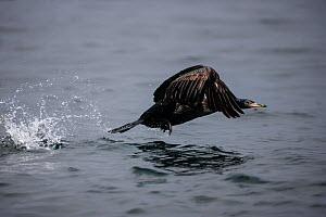 Pelagic cormorant (Phalacrocorax pelagicus) flies from the water after catching a tiny fish, in the Bering Sea near Medny Island in the Commander Islands, Russia.  -  Jenny E. Ross