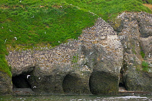 Seabird colony on Verkhoturova Island in the Bering Sea, Russia. Nesting species include common and Brunnich's guillemots (Uria aalge and Uria lomvia arra -- also known as the common murre and thi...  -  Jenny E. Ross