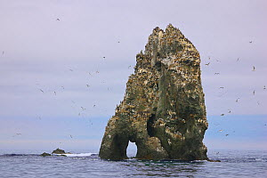 Seabird colony on off-shore rocks in the Bering Sea near Verkhoturova Island, Russia. The nesting species include common and Brunnich's guillemots (Uria aalge and Uria lomvia arra -- also known as...  -  Jenny E. Ross