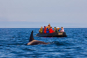 Ecotourists have a close encounter with a curious adult female orca (Orcinus orca, aka killer whale) near Arakamchechen Island in the Bering Sea, Chukotka, Russia.  -  Jenny E. Ross
