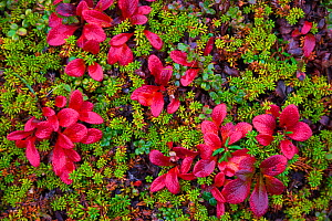 Low-growing plants on the tundra, including crowberry (Empetrum nigrum), alpine bearberry (Arctous alpina), one-sided wintergreen (Orthilla secunda), and Lapland Cornel (Chamaepericlymenum suecicum),...  -  Jenny E. Ross