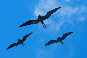 Magnificent frigate birds (Fregata magnificens) flying around the Galapagos Islands.  -  Jeff Vanuga