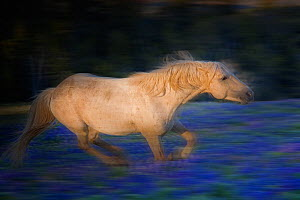 Wild horse stallion running through a field of lupin flowers high in the Pryor Mountains, on the border of Wyoming and Montana, USA. June.  -  Jeff Vanuga