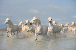 White horses of the Camargue galloping through marshes in the Camargue regioin of France.  -  Jeff Vanuga