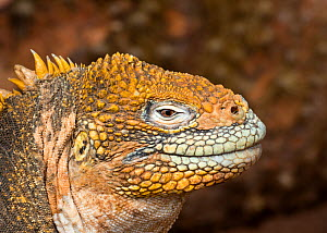 Land iguana (Conolophus subscristatus) on North Seymour. Galapagos Island archipelago, Equador.  -  Jeff Vanuga