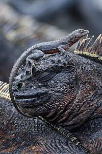 Lava lizard (Tropidurus spp) sitting on the head of a marine iguanas (Amblyrhynchus cristatus Bell) . Fenandina Island in the Galapagos Islands.  -  Jeff Vanuga