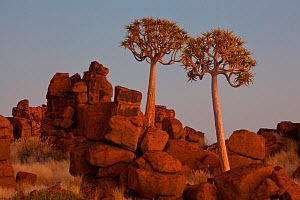 Quiver trees (Aloe dichotoma) at Giants Playground near the Quiver Tree Forest. Kootsmanshoop, Namibia.  -  Jeff Vanuga