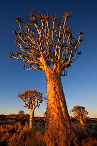 Quiver trees (Aloe dichotoma) at night, Quiver Tree Forest near Keetmashoop, Namibia  -  Jeff Vanuga
