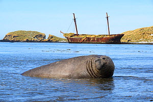 Southern elephant seal (Mirounga leonina) and the ship wrecked Baird seen in the background. Ocean Harbor, South Georgia Island, Antarctica.  -  Jeff Vanuga