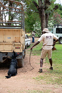 Man with dog on lead at Canines for Conservation dog training facility in Tanzania, September 2018.  -  Jeff Vanuga