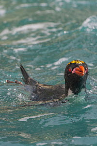 Macaroni penguins (Eudyptes chrysolophus) in water. Royal Bay, South Georgia. Medium repro only  -  Jeff Foott