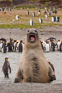 Southern elephant seal (Mirounga leonina) and King penguin (Aptenodytes patagonicus) colony at Salisbury Plain, South Georgia. Medium repro only  -  Jeff Foott