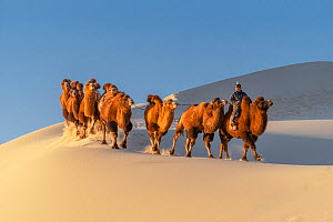 A herder with Bactrian camels riding in the Hongoryn Els sand dunes in the Gobi Desert in southern Mongolia.  -  Jeff Foott